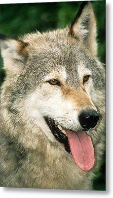 Happy Gray Wolf Metal Print by Larry Allan