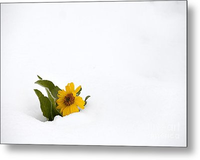 Balsamroot In Snow Metal Print by Hal Horwitz and Photo Researchers