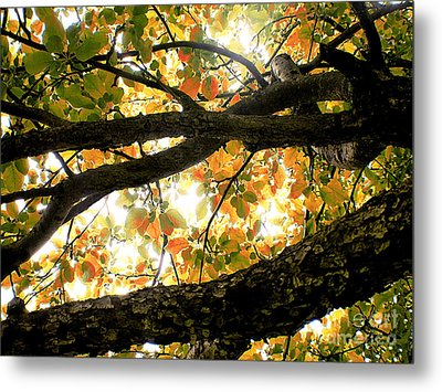 Beneath The Autumn Wolf River Apple Tree Metal Print by Angie Rea