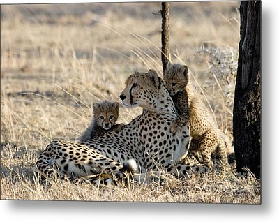 Cheetah Mother And Cubs Metal Print by Gregory G. Dimijian, M.D.