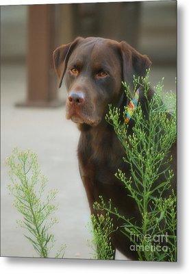 Chocolate Labrador - Womans Best Friend Metal Print by Donna Greene