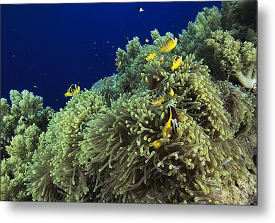 Clown Fish Metal Print by Alexis Rosenfeld