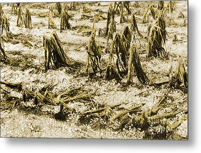 Cornfield After Hailstorm Metal Print by Science Source