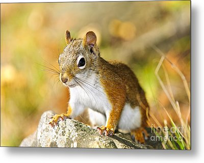 Cute Red Squirrel Closeup Metal Print by Elena Elisseeva