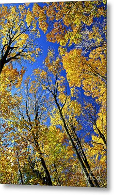 Fall Maple Trees Metal Print by Elena Elisseeva