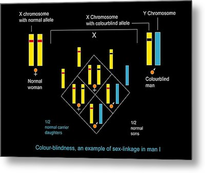 Genetics Of Colour Blindness, Diagram Metal Print by Francis Leroy, Biocosmos