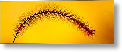 Giant Foxtail In Gold Metal Print by Jim Finch