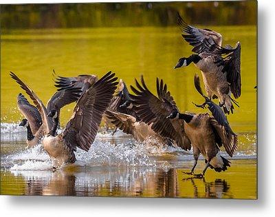 Golden Geese Metal Print by Brian Stevens