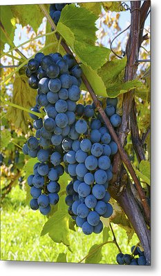 Grapes On A Vine Sutton Junction Quebec Metal Print by David Chapman