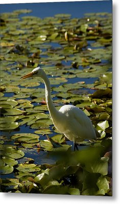 Great White Egret Perched On A Rock Metal Print by Todd Gipstein