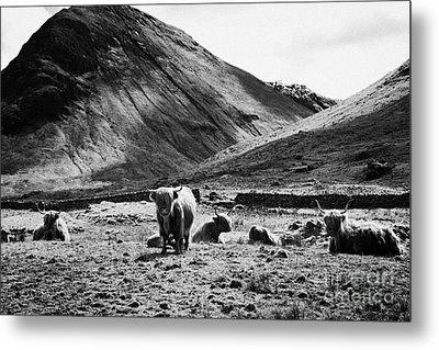 Herd Of Red Highland Cattle Glencoe Highlands Scotland Uk Metal Print by Joe Fox