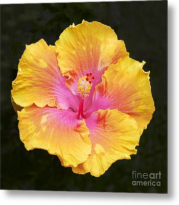 Hibiscus Metal Print by Tony Cordoza