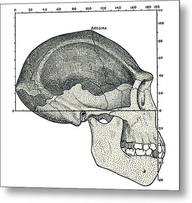 Homo Erectus Skull Metal Print by Sheila Terry