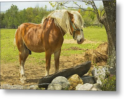 Horse Near Strone Wall In Field Spring Maine Metal Print by Keith Webber Jr