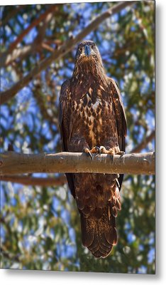 Immature Bald Eagle Metal Print by Beth Sargent