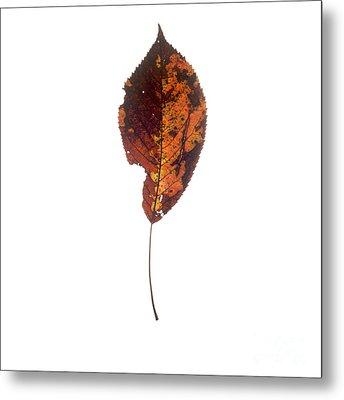 Leaf In Autumnal Colours Metal Print by Bernard Jaubert
