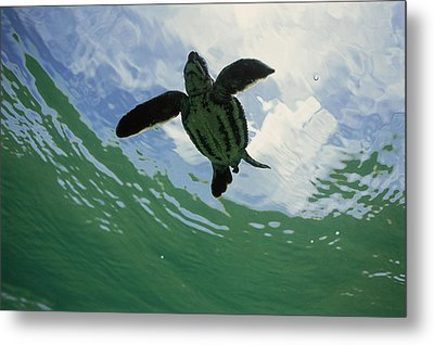 Leatherback Sea Turtle Dermochelys Metal Print by Mike Parry