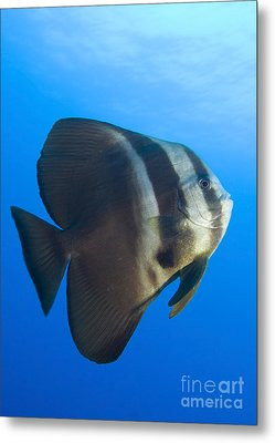 Longfin Spadefish, Papua New Guinea Metal Print by Steve Jones