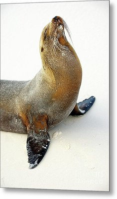 Male Galapagos Sea Lion Standing On Beach Metal Print by Sami Sarkis