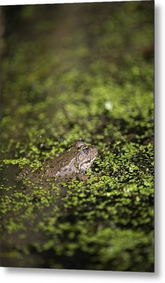 Marsh Frog Metal Print by Louise Murray