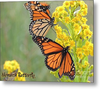 Monarch Butterfly Metal Print by Laurence Oliver