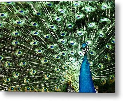 Peacock Metal Print by Ivan Vukelic