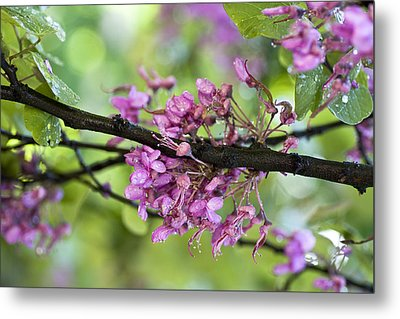 Pink Flowers Of The Love Tree Metal Print by Frank Tschakert