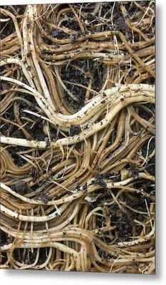 Roots Of A Pot-bound Buddleja Plant Metal Print by Dr Jeremy Burgess
