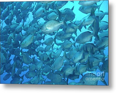 School Of Cortez Sea Chub Fishes Metal Print by Sami Sarkis