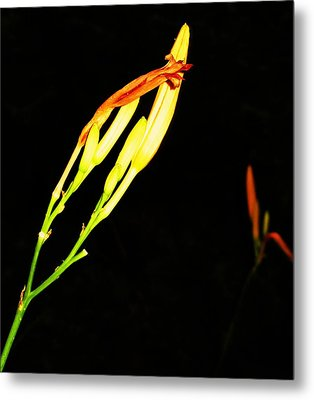 Sleeping Iris Metal Print by Todd Sherlock