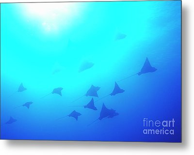 Spotted Eagle Rays Metal Print by Sami Sarkis