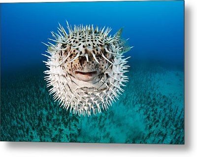 Spotted Porcupinefish Metal Print by Dave Fleetham