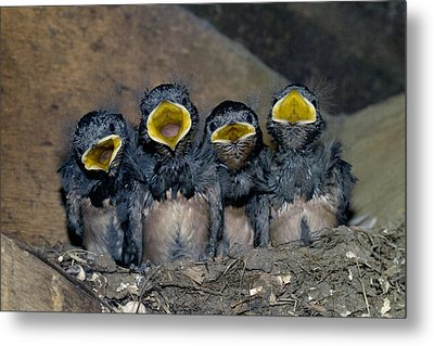 Swallow Chicks Metal Print by Georgette Douwma