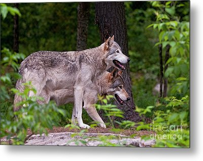 Timber Wolves Metal Print by Michael Cummings