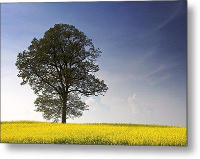 Tree In A Rapeseed Field, Yorkshire Metal Print by John Short