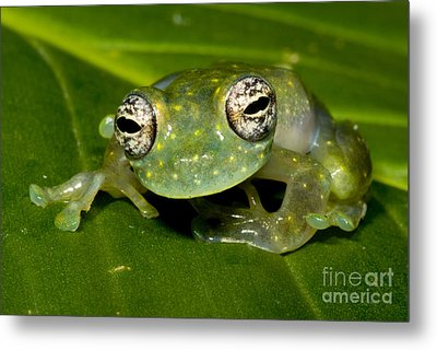 White Spotted Glass Frog Metal Print by Dante Fenolio
