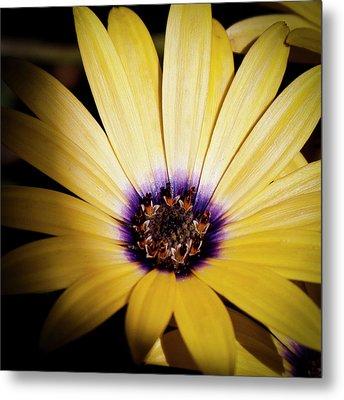 Yellow Daisy Metal Print by David Patterson