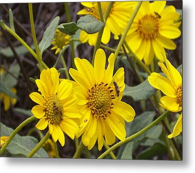 Yellow Daisy Metal Print by Steve Huang