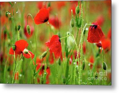 Field Of Poppies. Metal Print by Bernard Jaubert