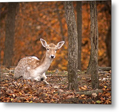 1111-7638 Fawn In Fall Metal Print by Randy Forrester