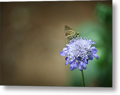 1205-8785 Skipper On A Butterfly Blue Pincushion Flower Metal Print by Randy Forrester