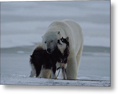 A Polar Bear Ursus Maritimus Metal Print by Norbert Rosing