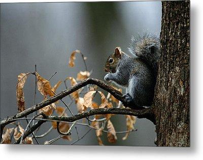 An Eastern Gray Squirrel Sciurus Metal Print by Chris Johns