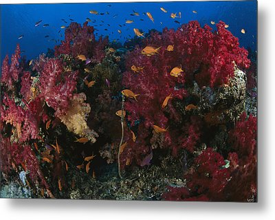 Anthias Fish Swim Near A Reef Wall Metal Print by Tim Laman
