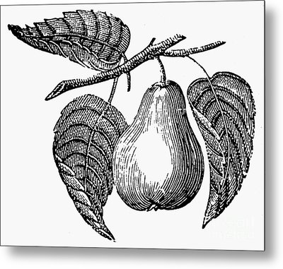 Botany: Pear Metal Print by Granger