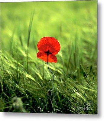 Field Of Wheat With A Solitary Poppy. Metal Print by Bernard Jaubert