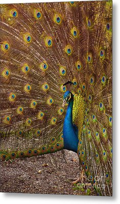 Peacock Metal Print by Carlos Caetano