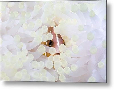 Pink Anemonefish Sheltering Metal Print by Georgette Douwma