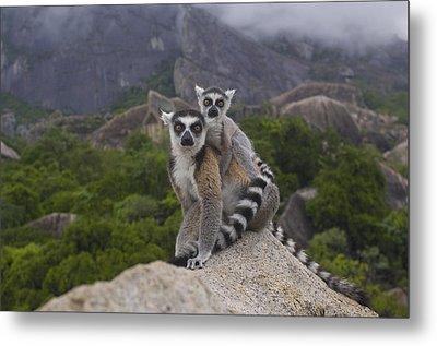 Ring-tailed Lemur Lemur Catta Mother Metal Print by Pete Oxford