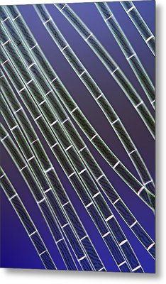 Spirogyra Algae, Light Micrograph Metal Print by Jerzy Gubernator